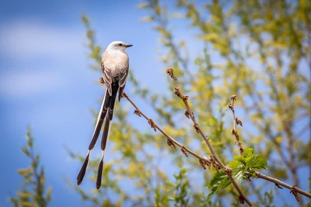 USA - Oklahoma - Scissor-tailed Flycatcher (Tyrannus forficatus) perched on a branch