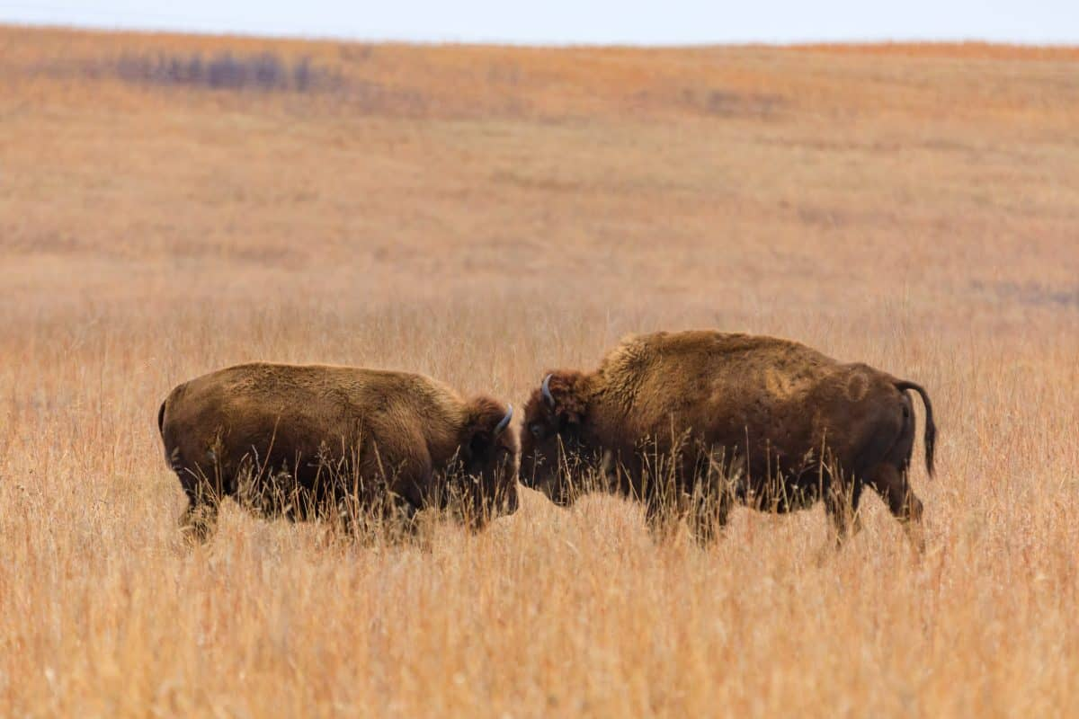Two American bison face each other within the Tallgrass Prairie Preserve in Pawhuska, Oklahoma