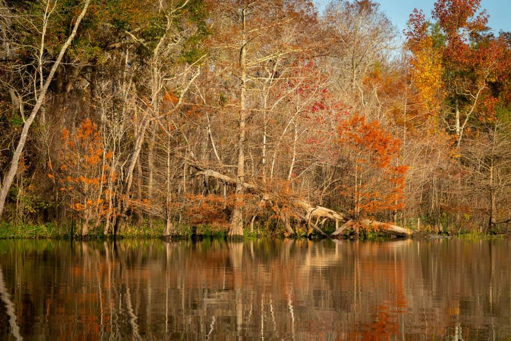 USA - Texas - A fallen tree against the backdrop of fall colors in the Big Thicket National Preserve near Beaumont, Texas.