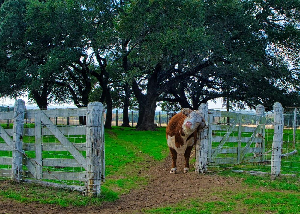 USA - Cow scratching head on a Post at LBJ Ranch