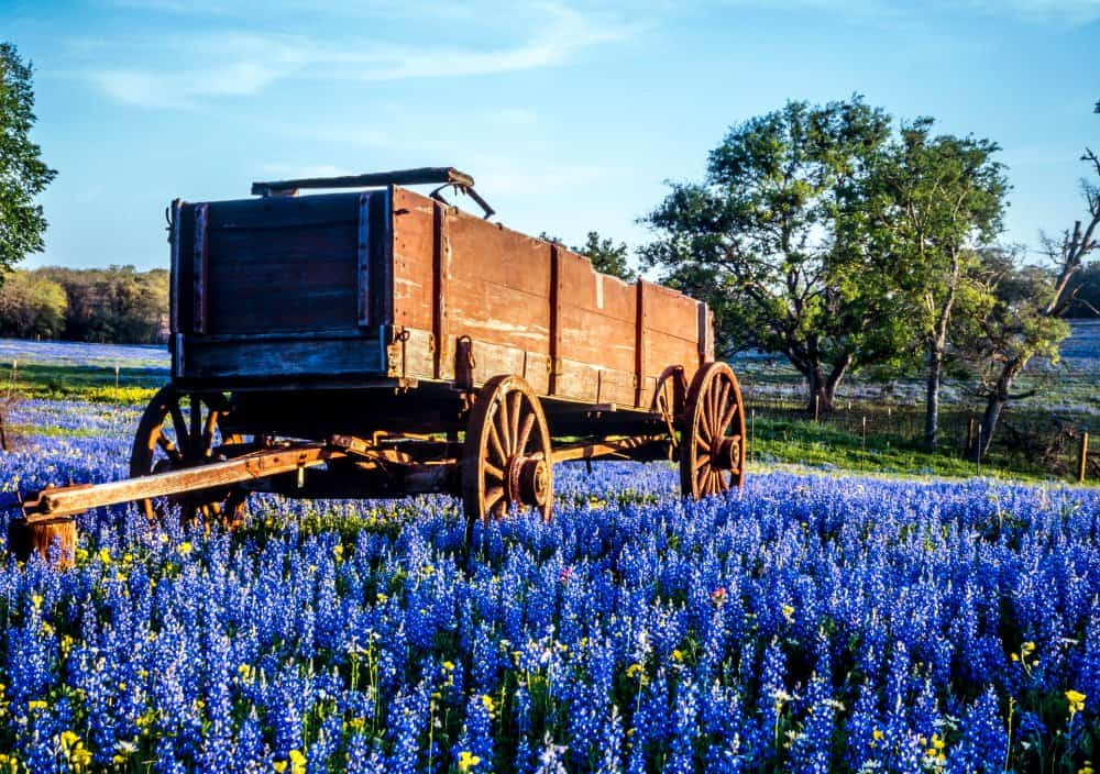 USA - Texas - Wagon in field of bluebonnets in texas hill country