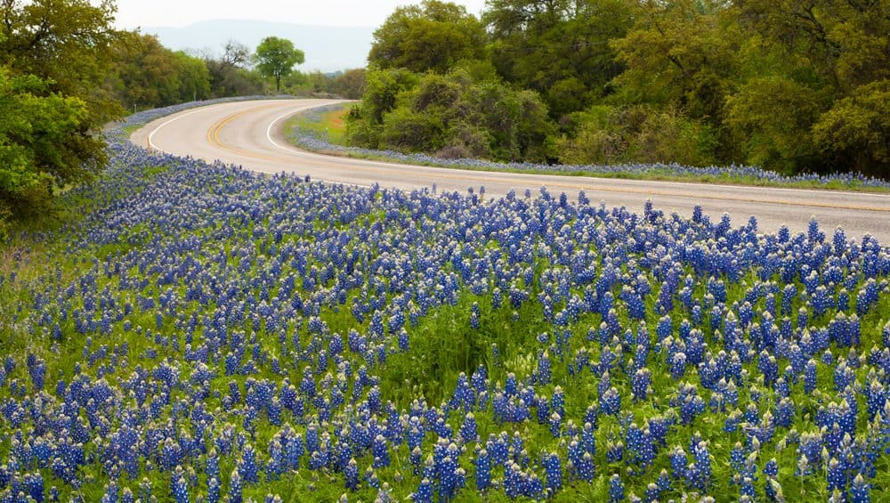 Texas - Fredericksburg - Texas bluebonnets along highway Willow City Loop Texas Scenic Drive