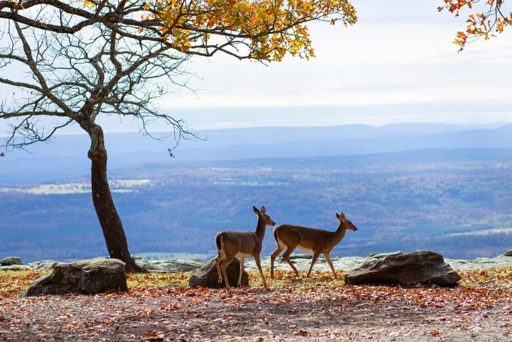 USA - Arkansas - Two Deer Walking on the ooen mountainside next to a tree in Fall.