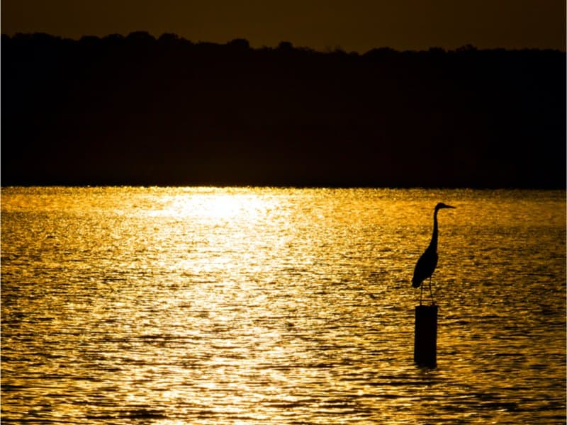 USA - Missouri - Great Blue Heron at sunset at Pomme de Terre Lake in southwest Missouri.