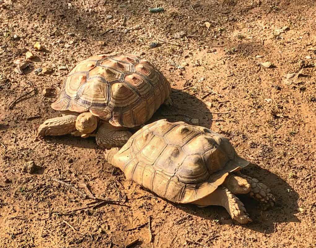 USA - Arkansas - Tortoises Enjoying the Sun at the Little Rock Zoo