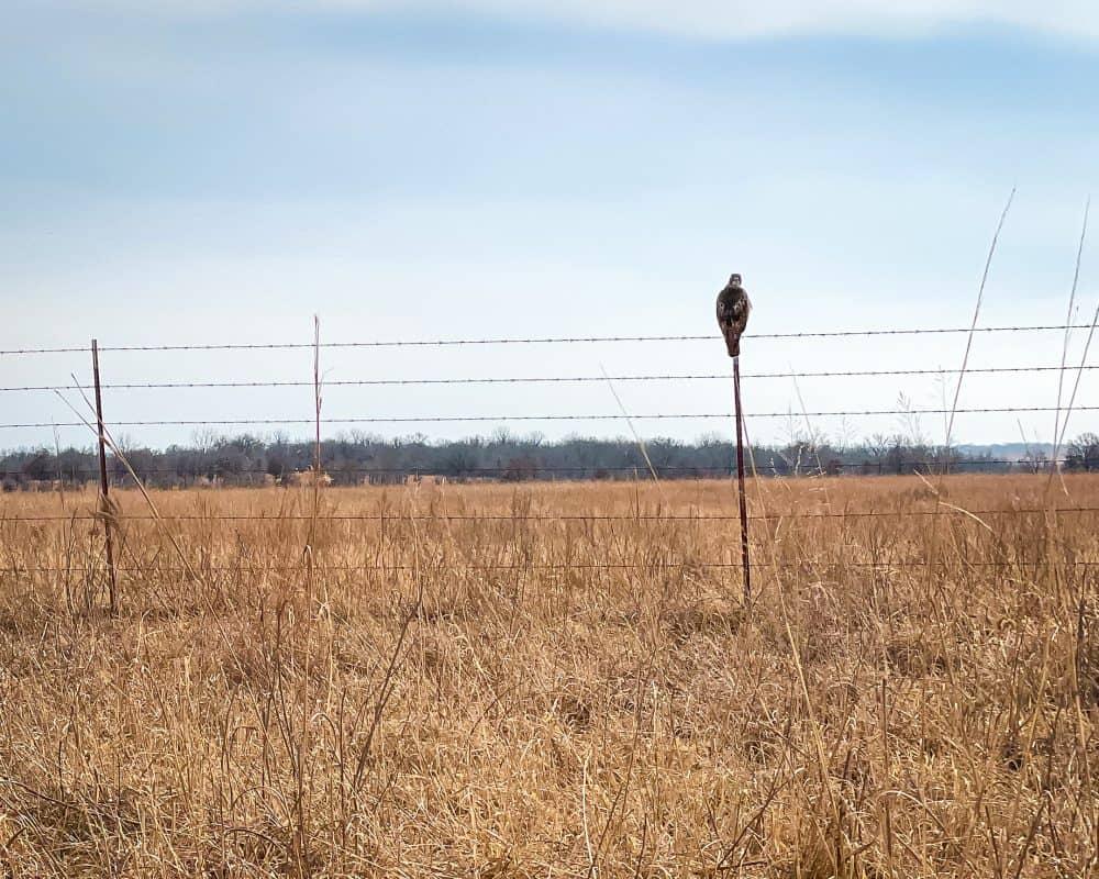 Oklahoma - Pawhuska - Tallgrass Prairie Preserve Bird on a Fence