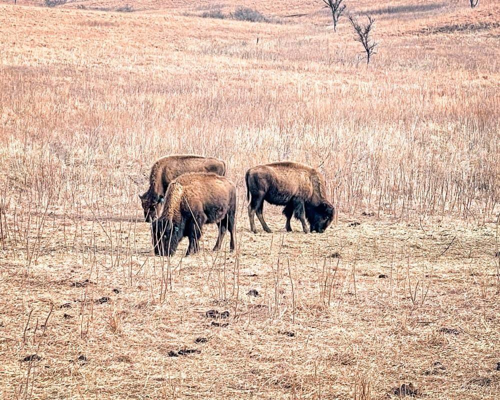 Oklahoma - Pawhuska - Tallgrass Prairie Preserve - Buffalo herd / Bison herd