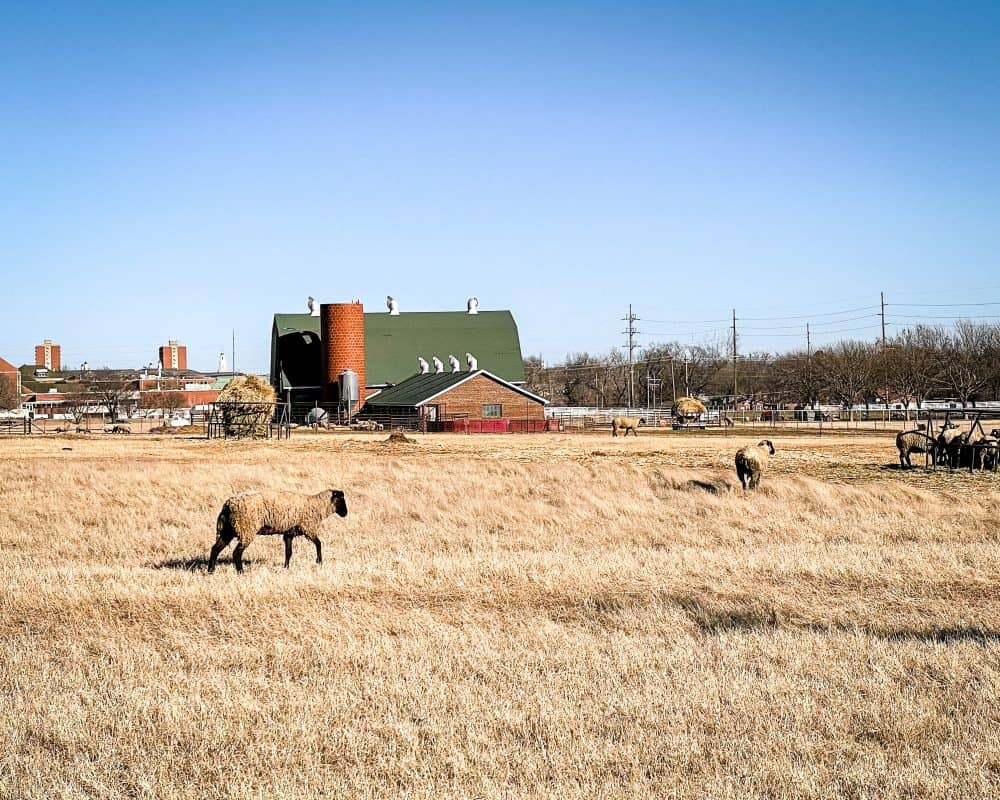 Oklahoma - Stillwater - Lambs and sheep at agriculture school