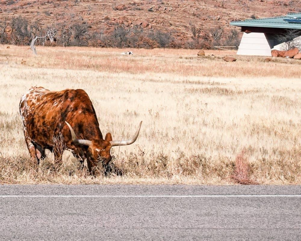 Oklahoma - Wichita Mountains Wildlife Refuge - Longhorn Cattle