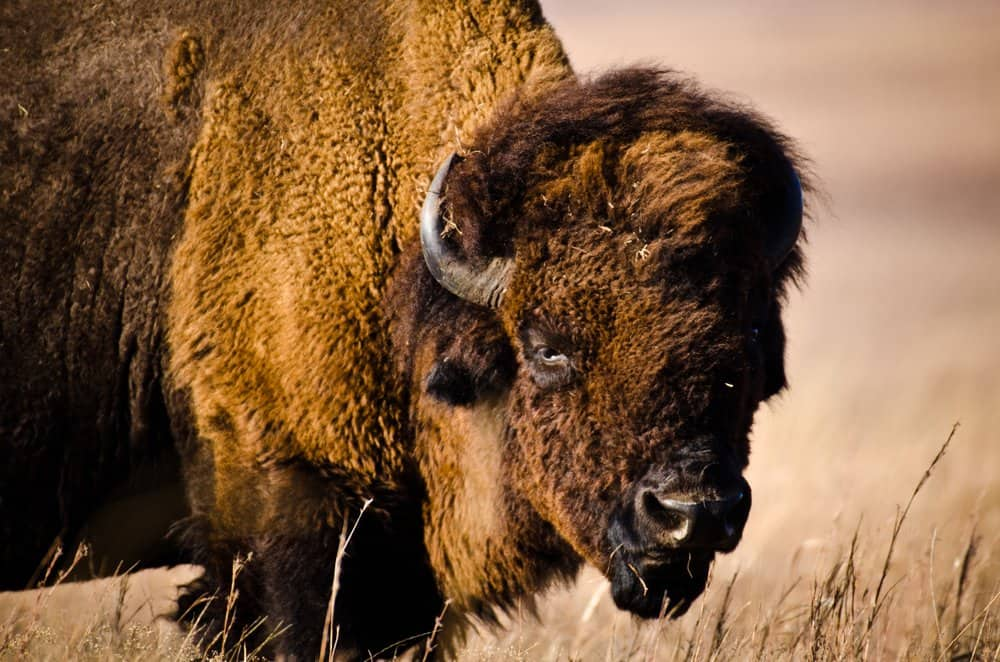 Kansas - An American Bison stands in a tall grass prairie in the plains of the midwest.