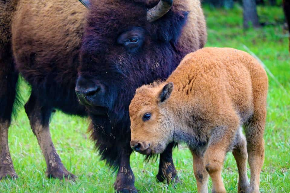 Oklahoma - Woolaroc - Bison