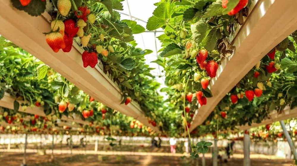 Oklahoma - Pick Your Own Strawberry Farm
