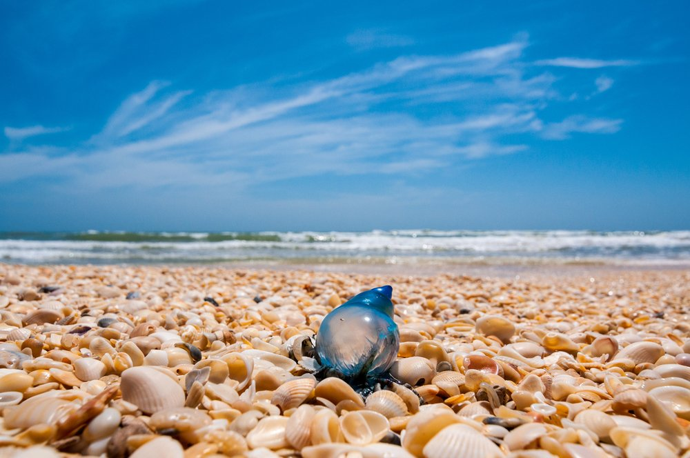 Texas - A single blue man of war (man o' war) jellyfish rests on a shell laden beach on Padre Island National Seashore, which is on the Texas Gulf Coast.