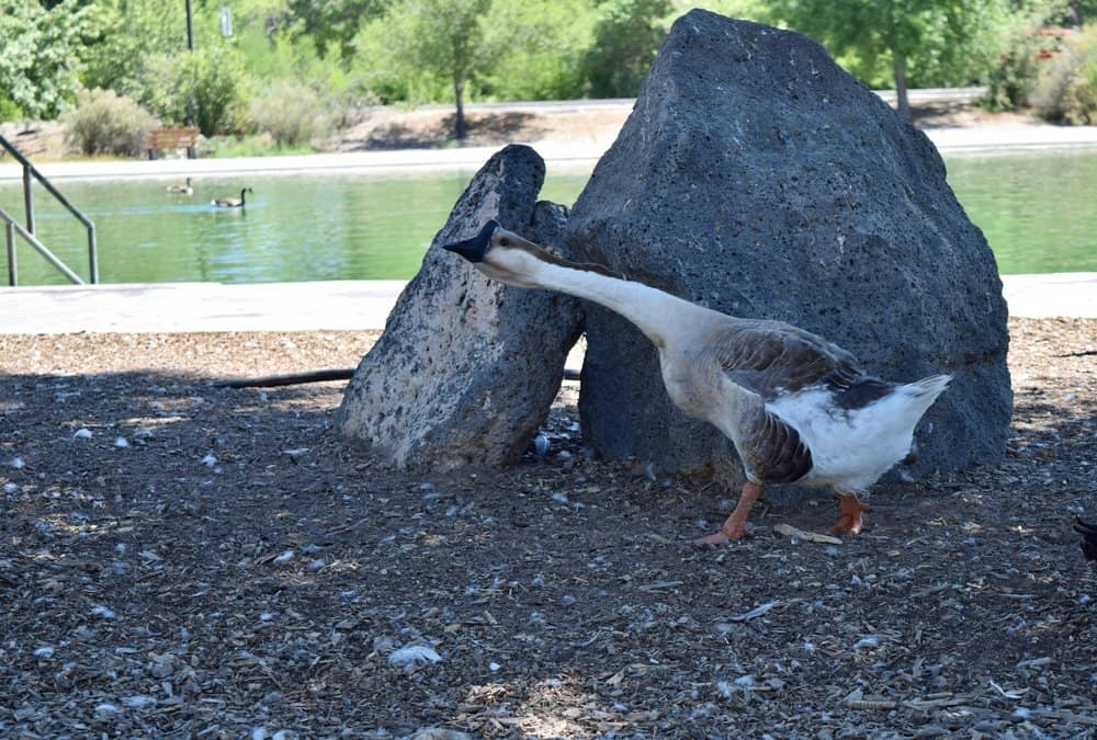 New Mexico - Albuquerque - Goose with neck outstretched in neighborhood park with boulder and water in background