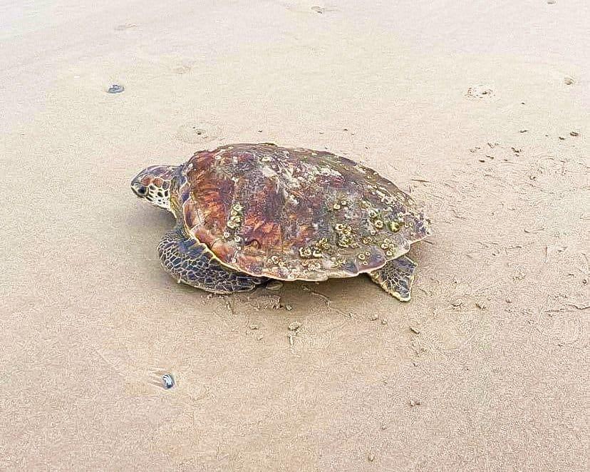 Texas - Corpus Christi - Mustang Island State Park - Sea Turtle on the Beach