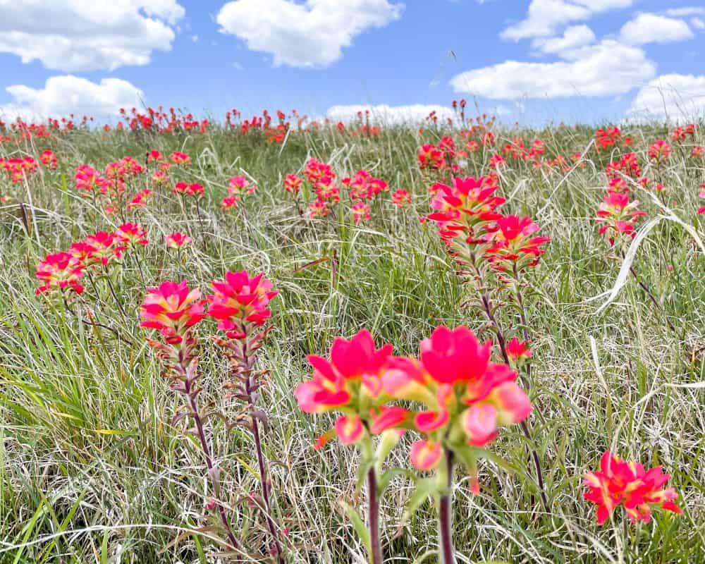 Oklahoma - Davis - Wildflowers